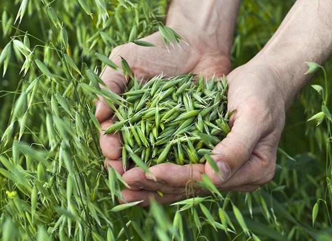 Zelený jačmeň: vplyv na ľudský organizmus