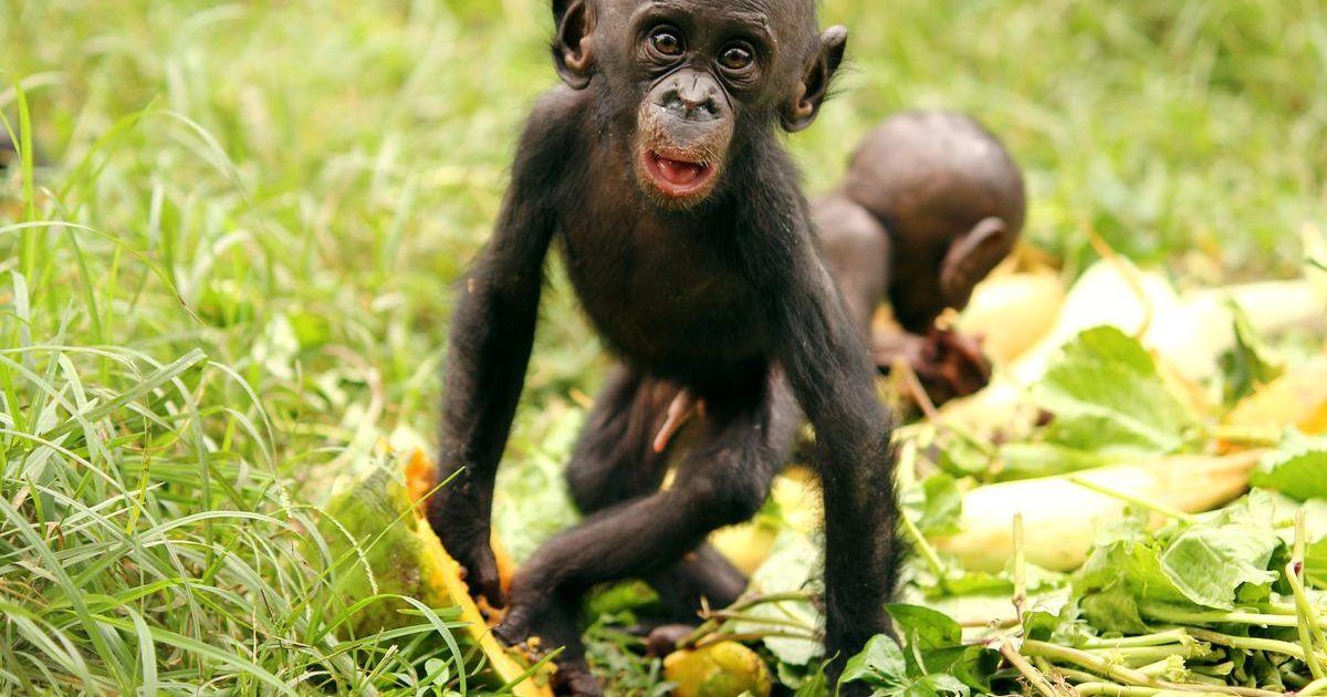 Šimpanzy, ľudia a naša strava